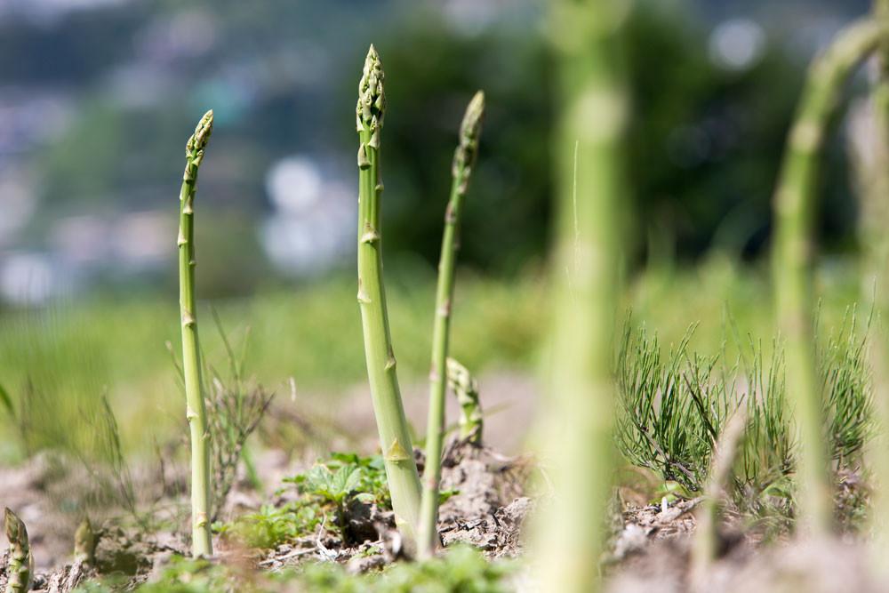 Asparagi freschi verdi